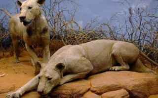 Mangiatori di uomini dello Tsavo è il soprannome dato a due leoni che compirono una serie di attacc