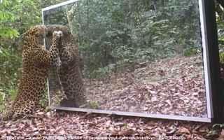 leopardo  specchio  immagine