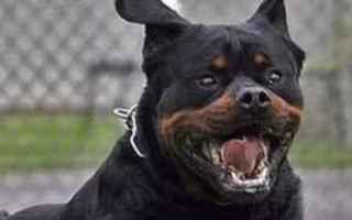 Animali: rottweiler  cane