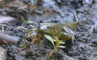 Animali: La rana toro - Chi è? Impariamo a conoscerla