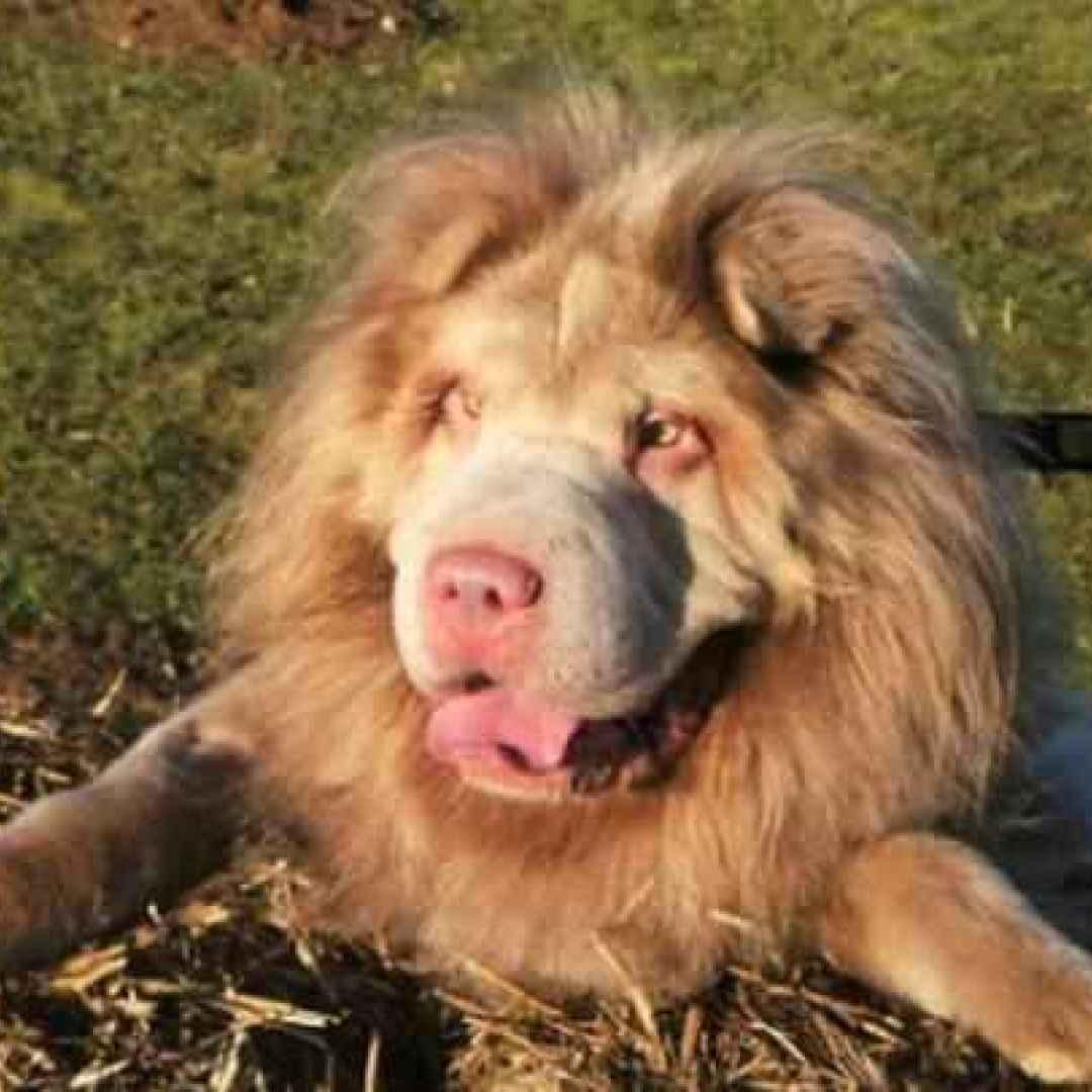 cane  leone