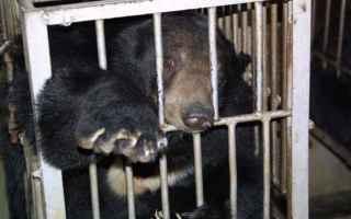 orsi della luna  bile  animals asia