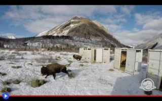 Animali: animali  bisonti  bovini  america