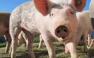 Napoli: rumeno viene arrestato e sarà estradato perchè guardate cosa aveva fatto con i maiali nel suo paese