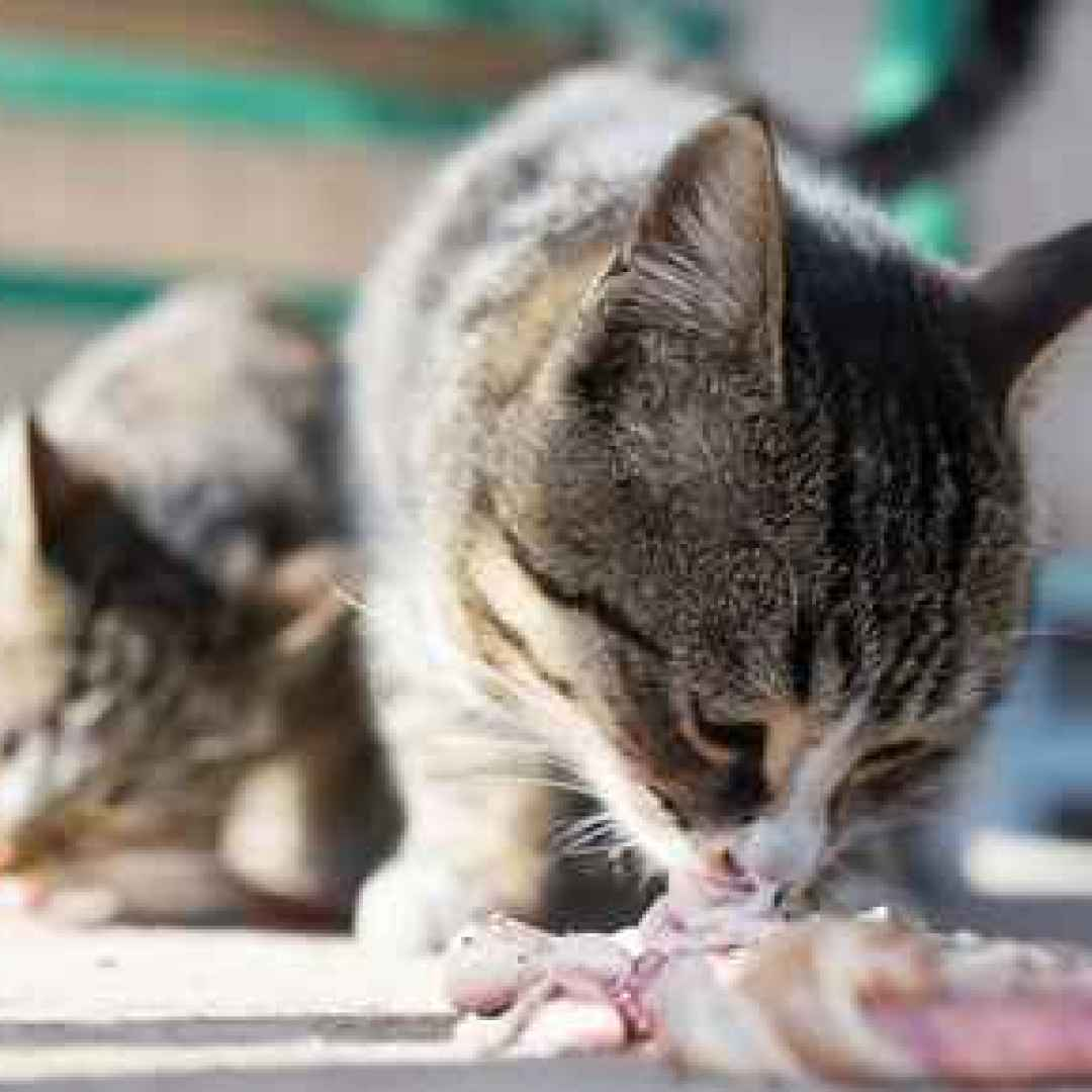 Biologically Appropriate Raw Food For Cats