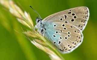 Le larve di alcune farfalle imitano i suoni emessi dalle larve di formica regina per farsi raccoglie