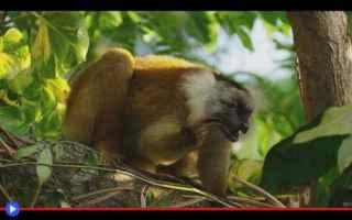 animali  primati  lemuri  madagascar