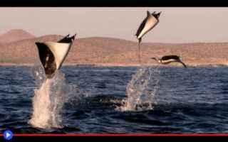Animali: animali  pesci  mante  razze  mare