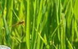 Gastronomia: riso aromatico  venere  nero  sardegna