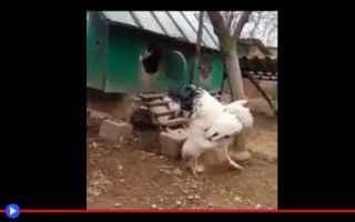 Animali: animali  polli  razze  uccelli  india