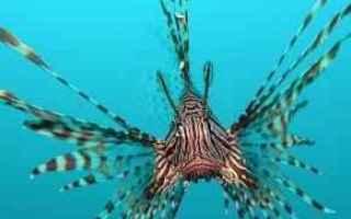 pesce scorpione  animali