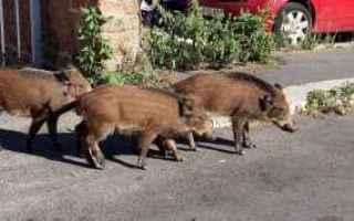 Animali: cinghiali  animali  roma