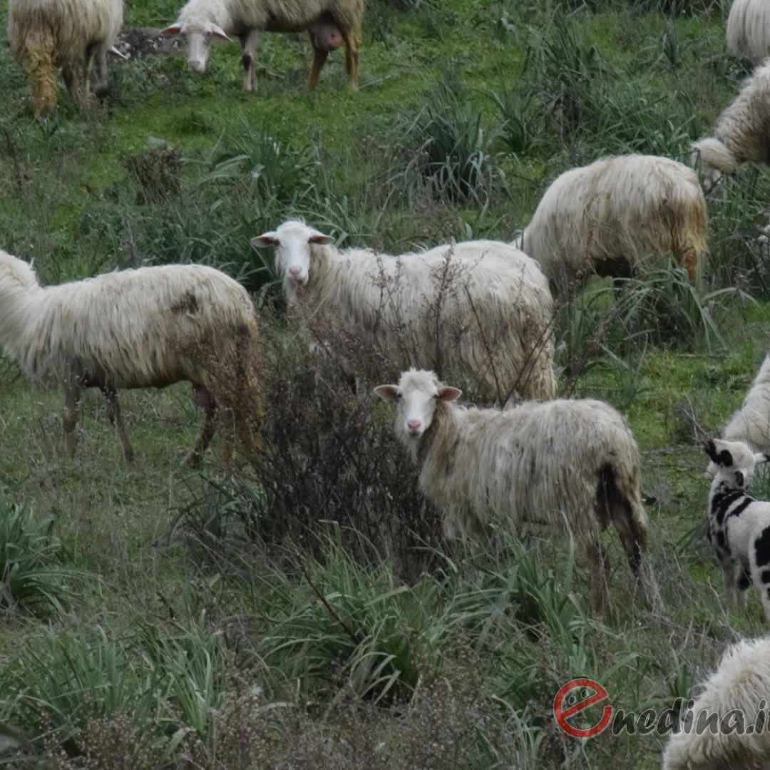 paradura  pecore  cascia  sardegna