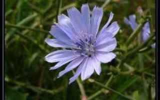 chicory fiori di bach  rimedio  armonia