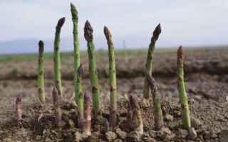 Giardinaggio: asparago  biologico  campo di asparago