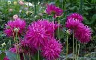 Giardinaggio: dalia  estate  tubero  fioritura
