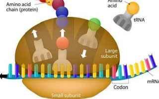 Scienze: Il Ribosoma: Struttura, Funzioni e Sintesi Proteica