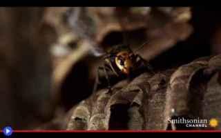 animali  insetti  vespe  giappone