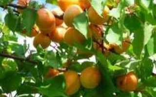 albicocche  frutta  coltivazione