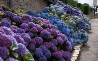 Giardinaggio: ortensie  cure  coltivazione