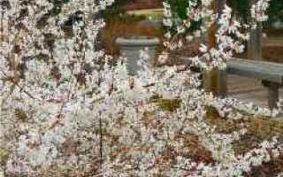 Giardinaggio: abeliophyllum  atbusto  fioritura