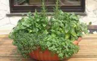 Giardinaggio: piante aromatiche  cucina  origano