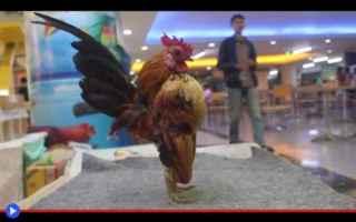 animali  uccelli  polli  allevamento