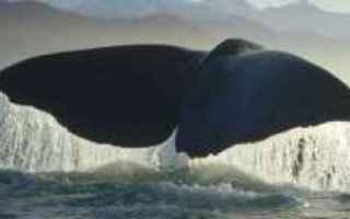 balene  misticeti  gigantismo