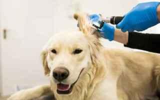 Animali: otite cane  pulizia orecchie cane