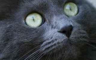 gatto  congiuntivite  veterinario