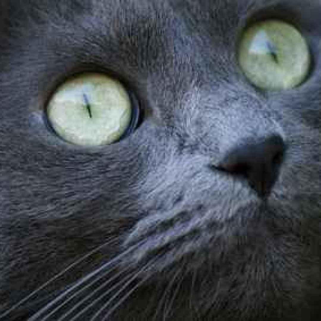 foto de La congiuntivite del gatto cause sintomi e rimedi (Gatto)