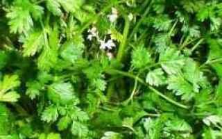 cerfoglio  erba aromatica  proprietà