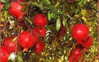 carducci  melograno  mito  pianta