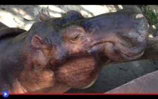 animali  ippopotami  colombia  storia