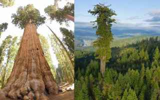 Ambiente: albero  pianta  sequoia  grande