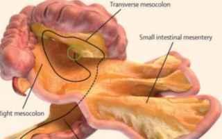 Medicina: mesentere  organo  corpo umano