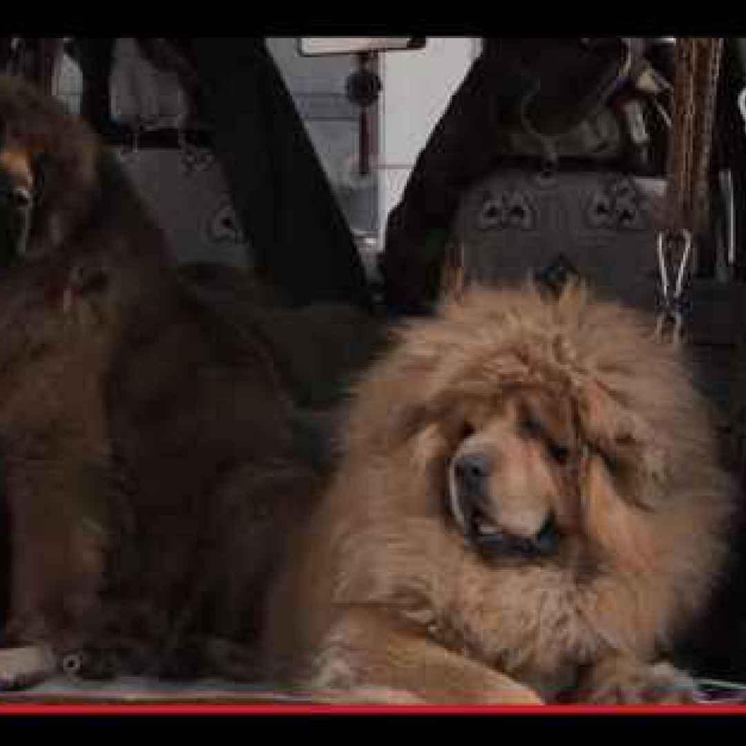 animali  tibet  razze  allevamento