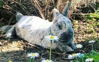 coniglio nano animale domestico