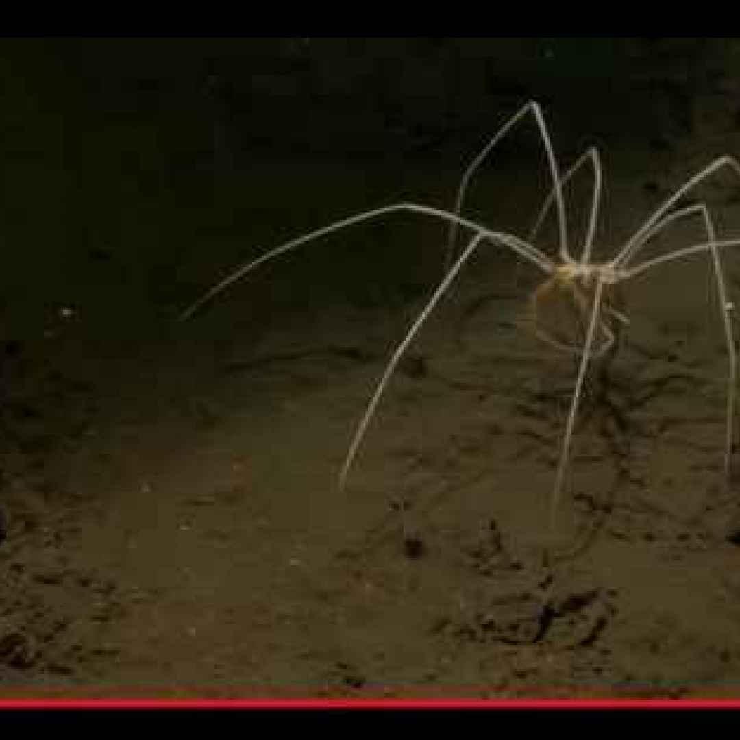 animali  artropodi  ragni  mare  oceano