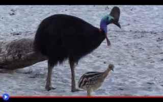 Animali: uccelli  australia  ratiti  belve