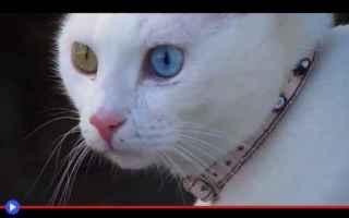 animali  gatti  laghi  turchia  razze