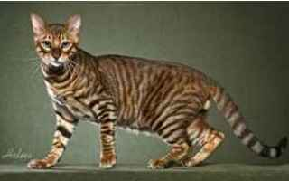 Animali: gatto  struvite  veterinario