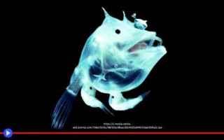 Animali: pesci  animali  riproduzione  abissi