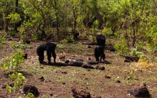 etologia  scimmie  scienza