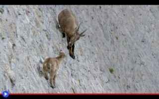 animali  capre  italia  piemonte  dighe