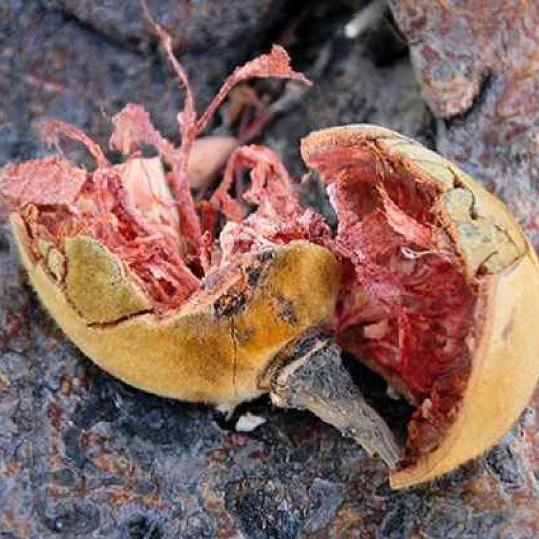 integratori  microbiota  baobab  hadza