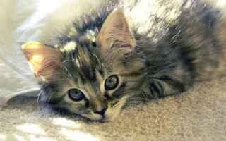 Il gatto è un felino per eccellenza per cui carnivoro stretto. Queste esigenze nutrizionali spesso