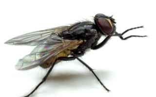mosca mosche insetto