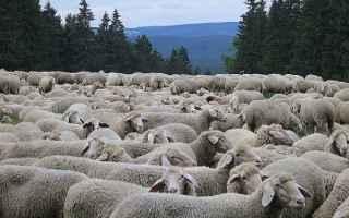 Cagliari: pastore  gregge  pecore  sardegna