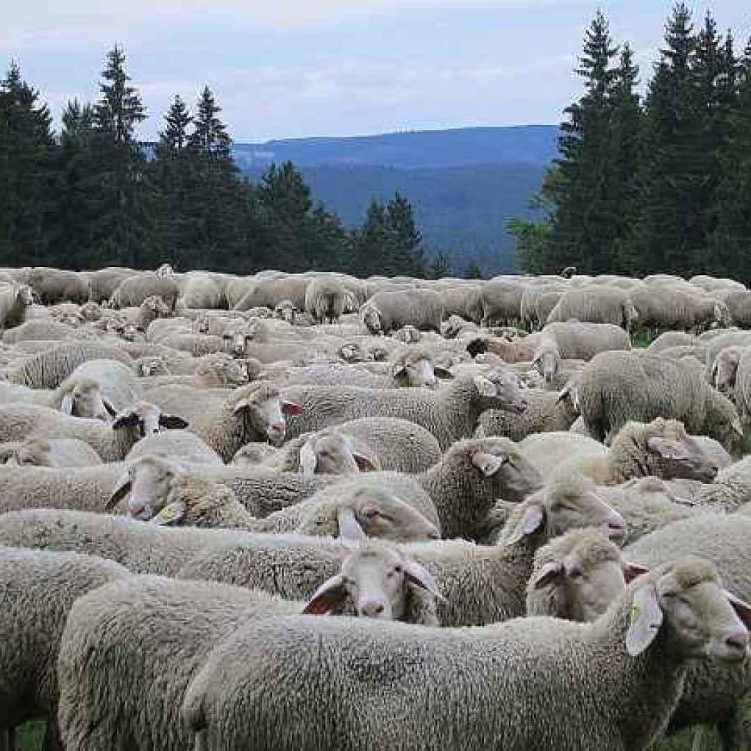 pastore  gregge  pecore  sardegna